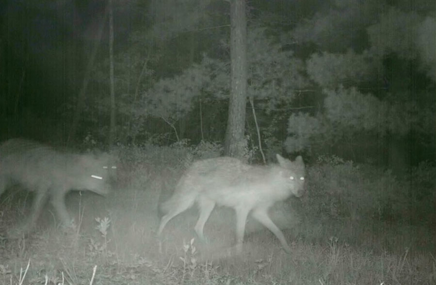 infrared night vision photo of a pack of wolves