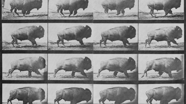 A contact sheet showing 16 frames of buffalo in motion by Eadweard Muybridge